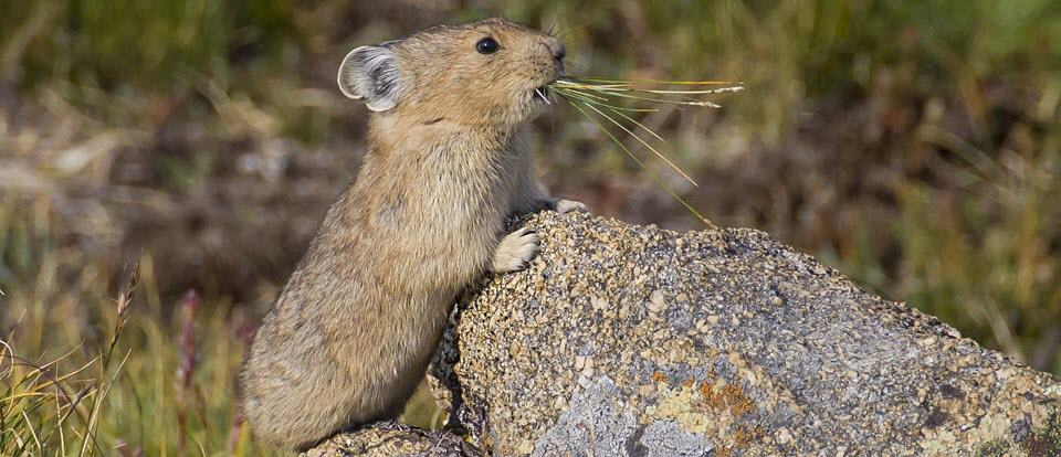 Pika leaning on rock. Looking for a children's book story